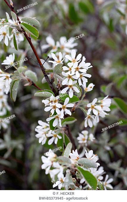 Snowy Mespilus, shadbush, shadwood, shadblow, serviceberry, sarvisberry, wild pear, juneberry, saskatoon, sugarplum, wild-plum