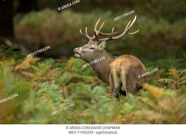 Red Deer Stag - Tasting the Air - Richmond Park - London - UK