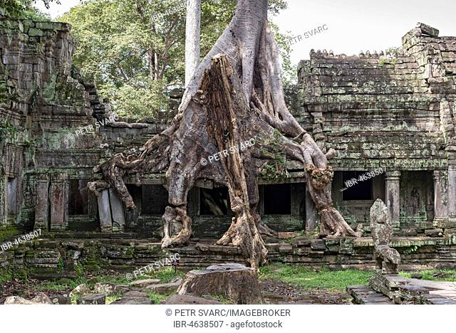 Temple ruins overgrown with trees, Preah Khan, Angkor, Cambodia