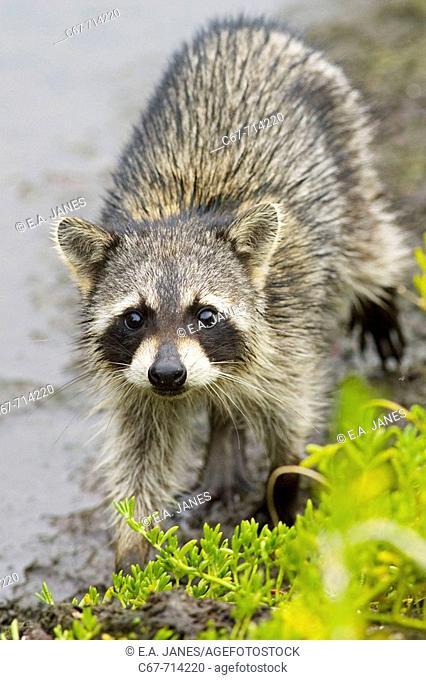 Raccoon Procyon lotor, Florida, Usa