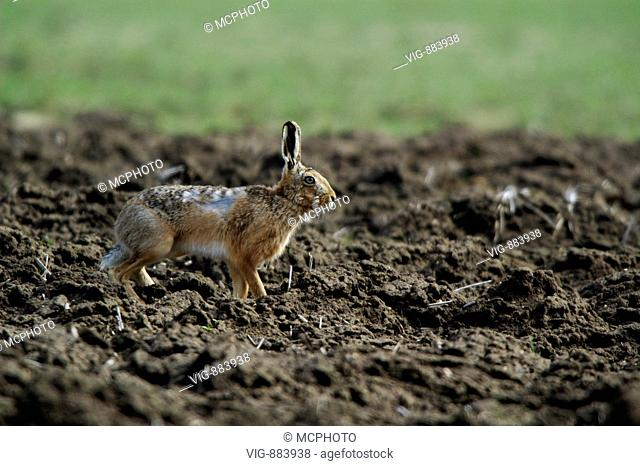Feldhase (Lepus europaeus) European Hare + Ostalbkreis; Baden Wuerttemberg; GERMANY,Germany - GERMANY / Germany, 15/04/2006