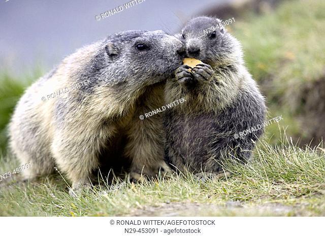 Marmot, adult with cub (Marmota marmota) Nationalpark Hohe Tauern, Austria