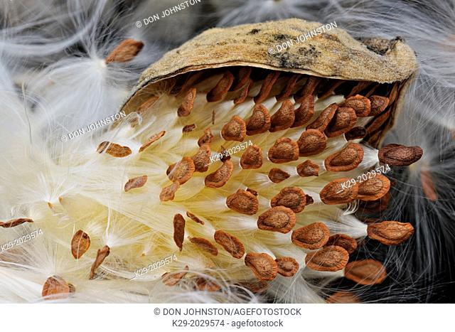 Common Milkweed (Asclepias syriaca) Bursting seed pod, Greater Sudbury (Lively), Ontario, Canada