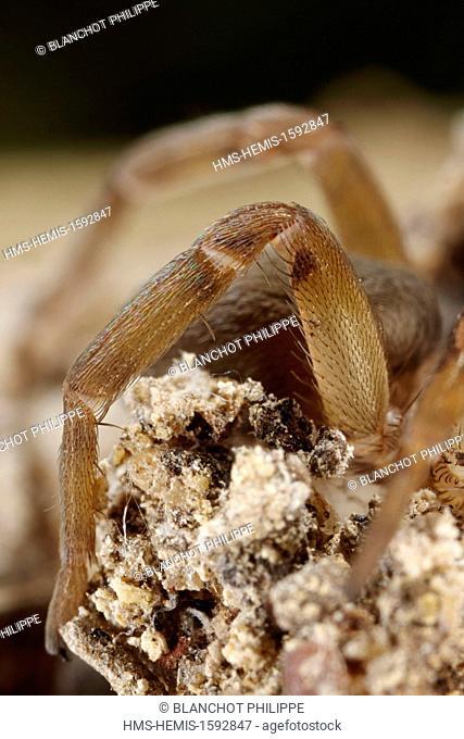 France, Herault, Araneae, Filistatidae, Crevice weaver (Filistata insidiatrix), Closeup of an ambulatory leg, trichobothria