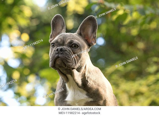 DOG. French Bulldog on logs in autumn