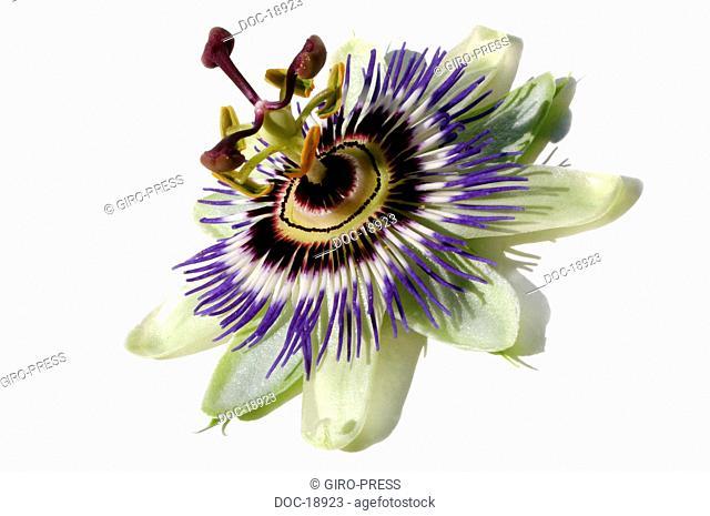 passion flower  Passiflora incarnata