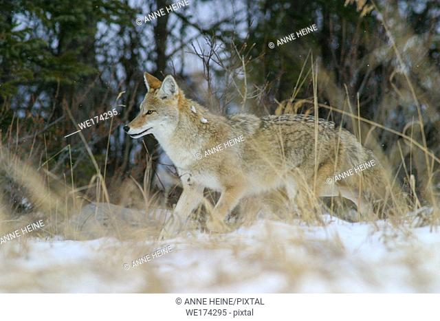 Wild running coyote in profile in snow behind grass, Canadian Rockies, Alberta, Canada