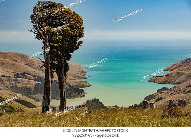 Totara trees shaped by strong southerly winds, Port Levy below, Banks Peninsula, Canterbury