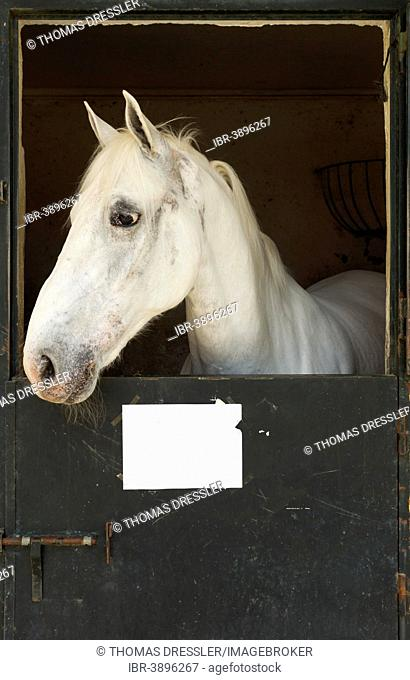 Stallion in his box stall during the Feria del Caballo Horse Fair, Jerez de la Frontera, Cádiz province, Andalusia, Spain