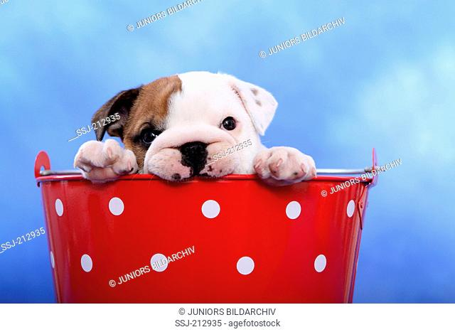 English Bulldog. Puppy (7 weeks old) sitting in a red bucket with white polka dots. Studio picture against a blue background. Germany