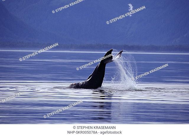 HUMPBACK WHALE tail-slapping Megaptera novaeangliae Alaska, USA  Tail fluke markings are genetically unique to each whale