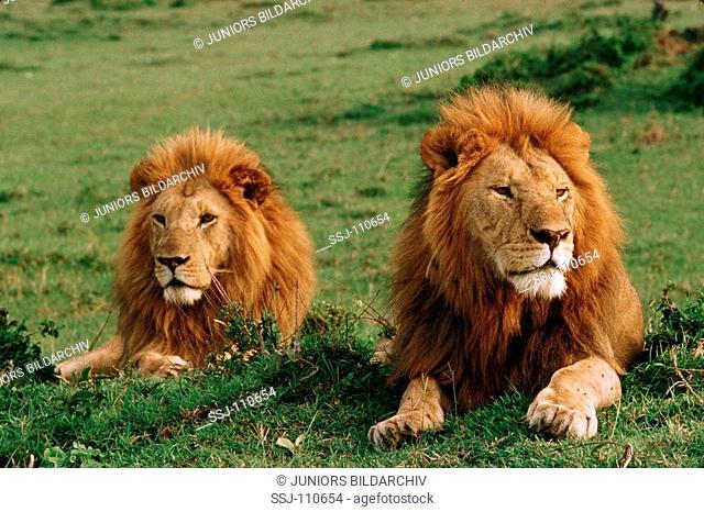 two lions - lying / Panthera leo