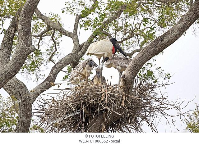 South America, Brasilia, Mato Grosso do Sul, Pantanal, Jabiru, Jabiru mycteria, nest, stork and young animals