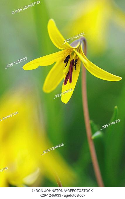 Trout lily/Dogtooth violet Erythronium americanum
