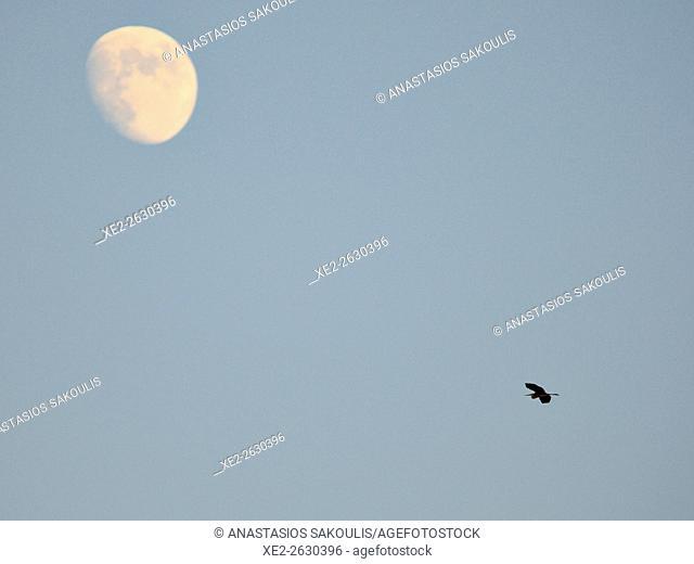 Purple heron and moon (birdscape), Crete