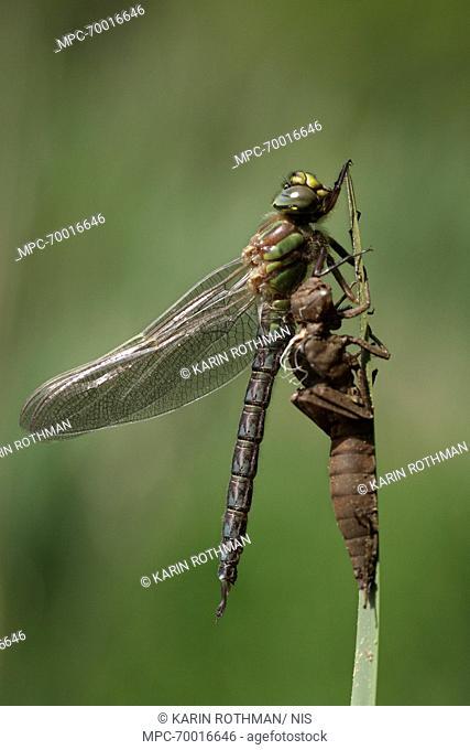 Hairy Dragonfly (Brachytron pratense) freshly hatched, Overijssel, Netherlands