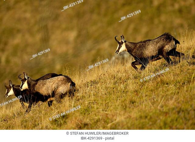 Chamois (Rupicapra rupicapra), rutting buck chasing does, Vosges, Alsace, Lorraine, France