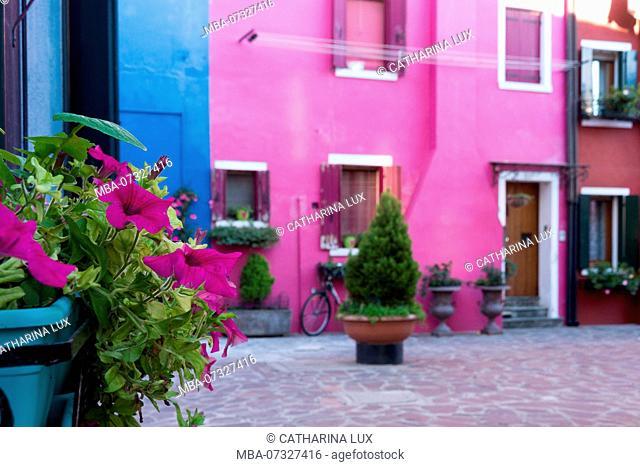 Venetian lagoon, island of Burano, pink façade and pink petunias