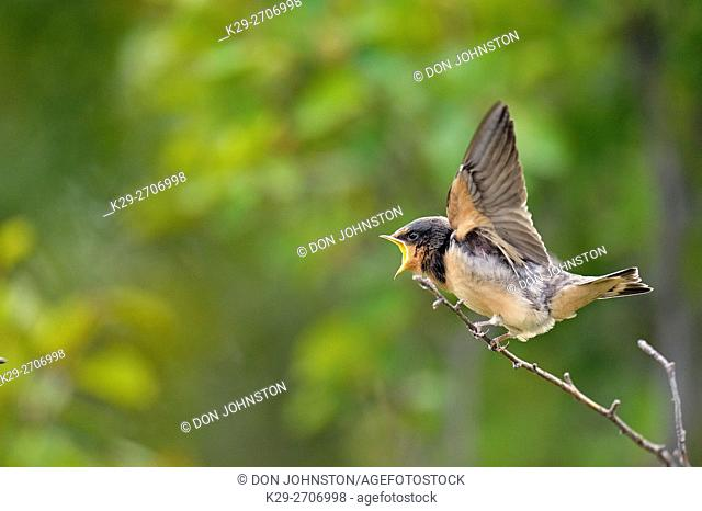 Barn swallow (Hirundo rustica) Fledgling out of the nest waiting to be fed by parent bird, Buffalo Pound Provincial Park, Saskatchewan, Canada