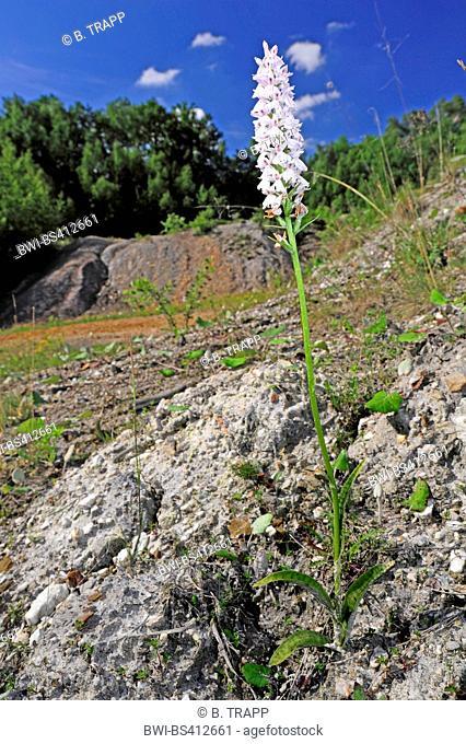 heath spotted orchid (Dactylorhiza maculata, Dactylorhiza maculata ssp. maculata), blooming in an abandoned kaolin pit , Germany, Rhineland-Palatinate, Oedingen