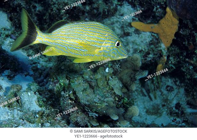 Striped brightly colored Lutjan Seaperch (Lutjanus kasmira), Palancar, Cozumel Island, Mexico