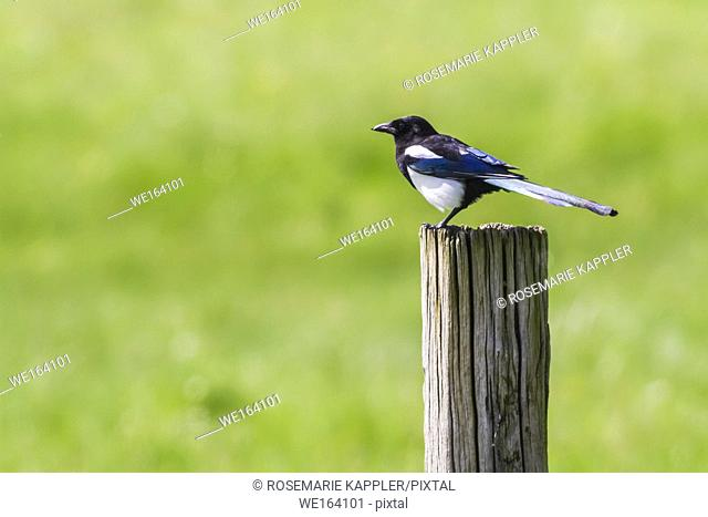 Germany, Saarland, Homburg - An eurasian magpie is searching for fodder