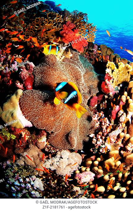 Two yellowtail clownfishes over the corals of Rocky Island's reef in Red Sea, Egypt. Amphiprion clarkii