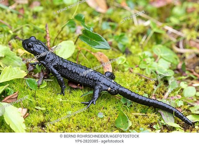 Alpine salamander (Salamandra atra), Niederhorn, Bernese Oberland, Switzerland