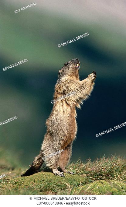 Alpine Marmot (Marmota marmota). Austria