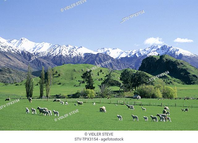 Capped, Field, Grass, Green, Holiday, Landmark, Mountain, New zealand, Ranges, Sheep, Snow, South island, Southern alps, Tourism