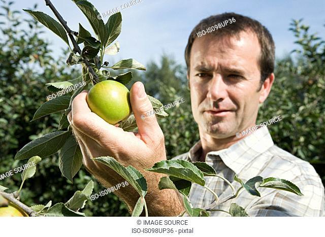 Man picking fresh apples
