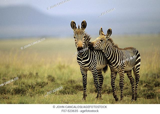 Mountain Zebras (Equus z. zebra). South Africa. IUCN Endangered. Almost exclusively grazers. Forms harems of several mothers accompanied by their latest...