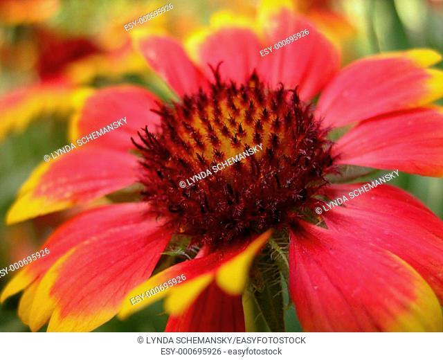Blanket flower Gaillardia aristata