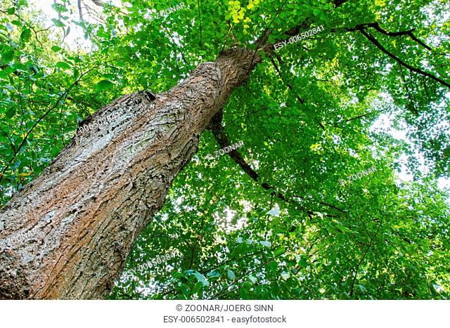Diagonal tree trunk in vertical composition with green leaves