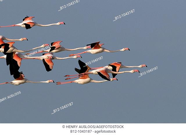 Greater Flamingo (Phoenicopterus roseus), Camargue, France