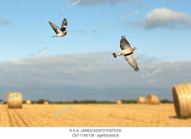 Wood Pigeons Columba palumbus in Flight