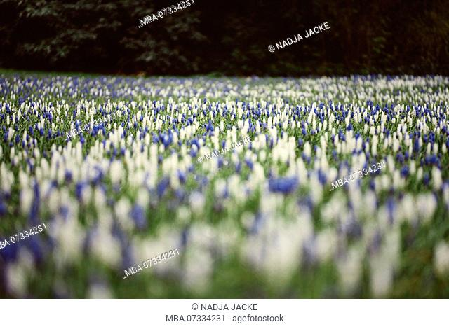 A carpet of hyacinths in a meadow