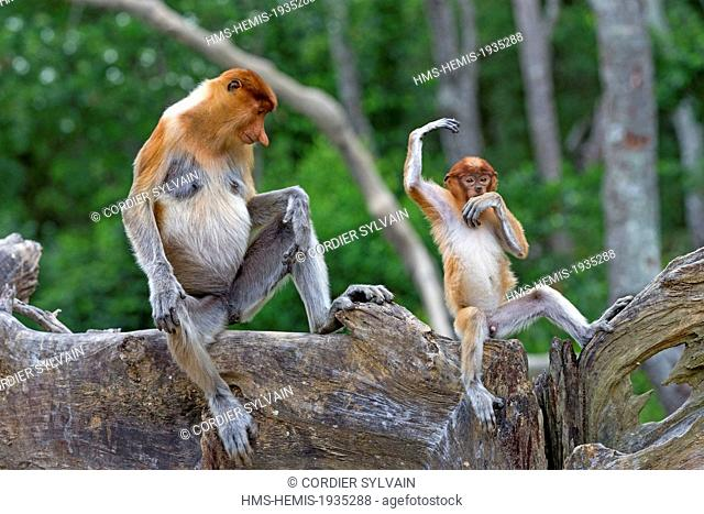 Malaysia, Sabah state, Labuk Bay, Proboscis monkey or long-nosed monkey (Nasalis larvatus), adult female and baby