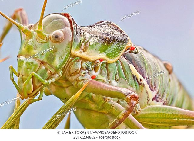 Bush crickets have very small wings, the pronotum resembles a saddle. The atrophied wings of Ephippiger species are unfit to flight and only used for the...