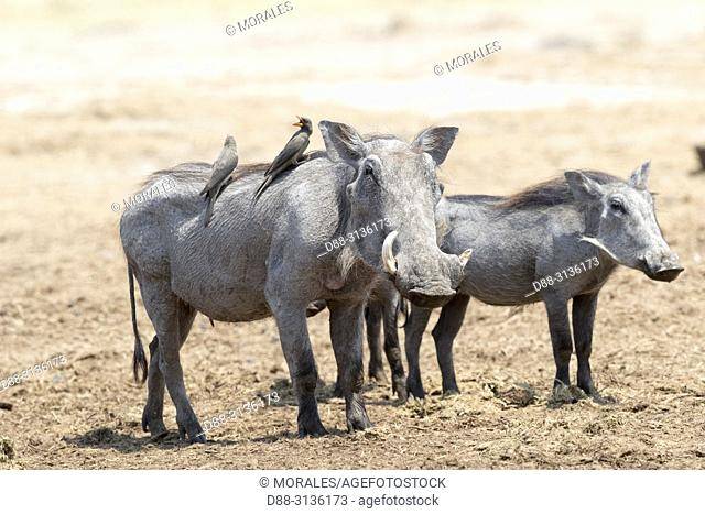 Africa, Southern Africa, Bostwana, Savuti National Park, Warthog (Phacochoerus africanus), with Red-billed oxpecker (Buphagus erythrorhynchus) on his back