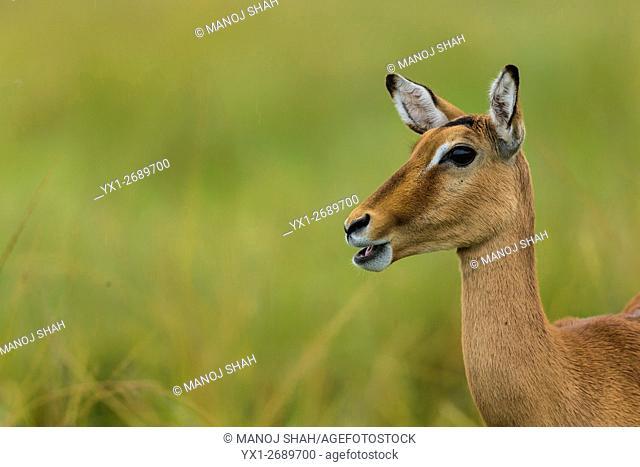 Female Impalas on the alert