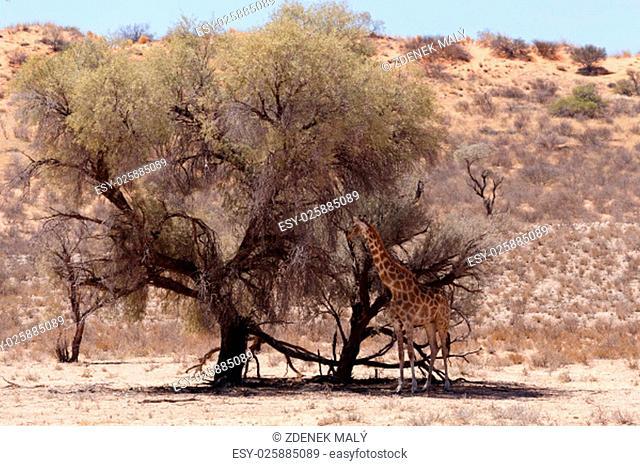 Giraffa camelopardalis in african bush, Kgalagadi Transfrontier Park, Botswana, wildlife