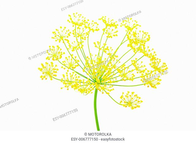 Close-up of dill, on white background