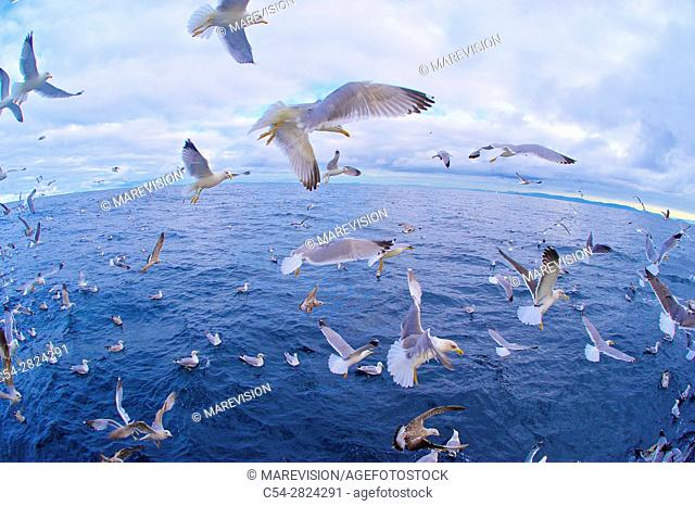 Life on board in a trawler. Yellow-legged gull (Larus michahellis). Eastern Atlantic. Galicia. Spain