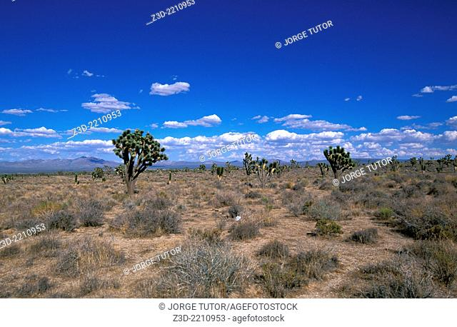 Joshua tree cactus, California desert, USA