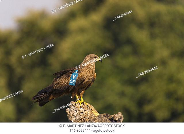 Black Milanâ. &lt, (Milvus migrans). Black kite with patangiales mark for its photographed observation in the Sierra del Guadarrama. Madrid, Spain