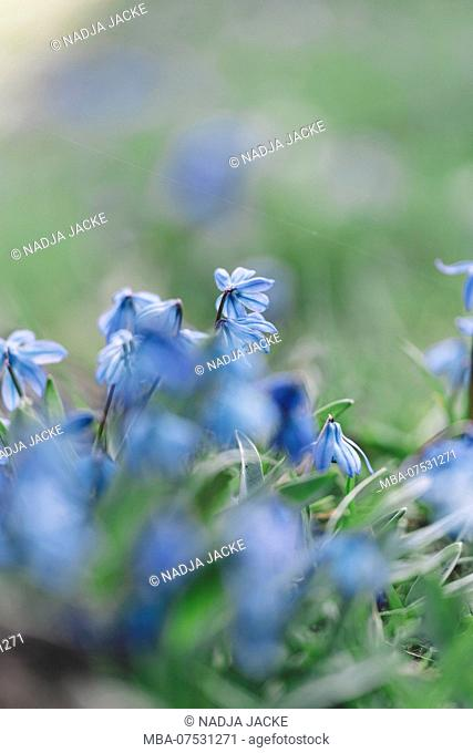 Scilla in a meadow close to a tree