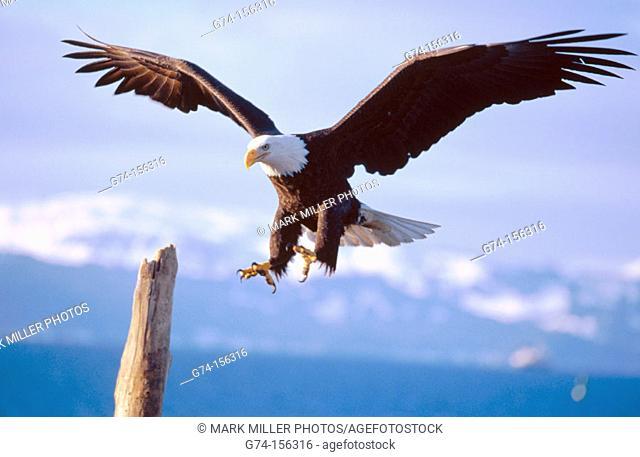 Bald Eagle flying (Haliaeetus leucocephalus). Alaska. USA