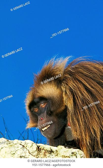 Gelada Baboon, theropithecus gelada, Portrait of Male