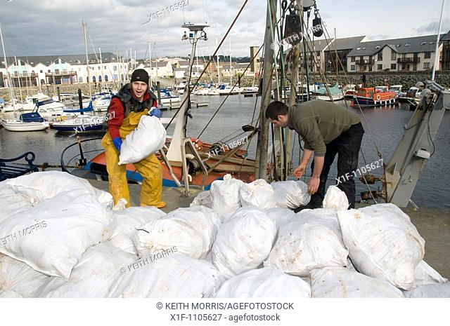 Fishermen landing sacks of freshly caught Cardigan Bay scallops on the quayside at Aberystwth harbour